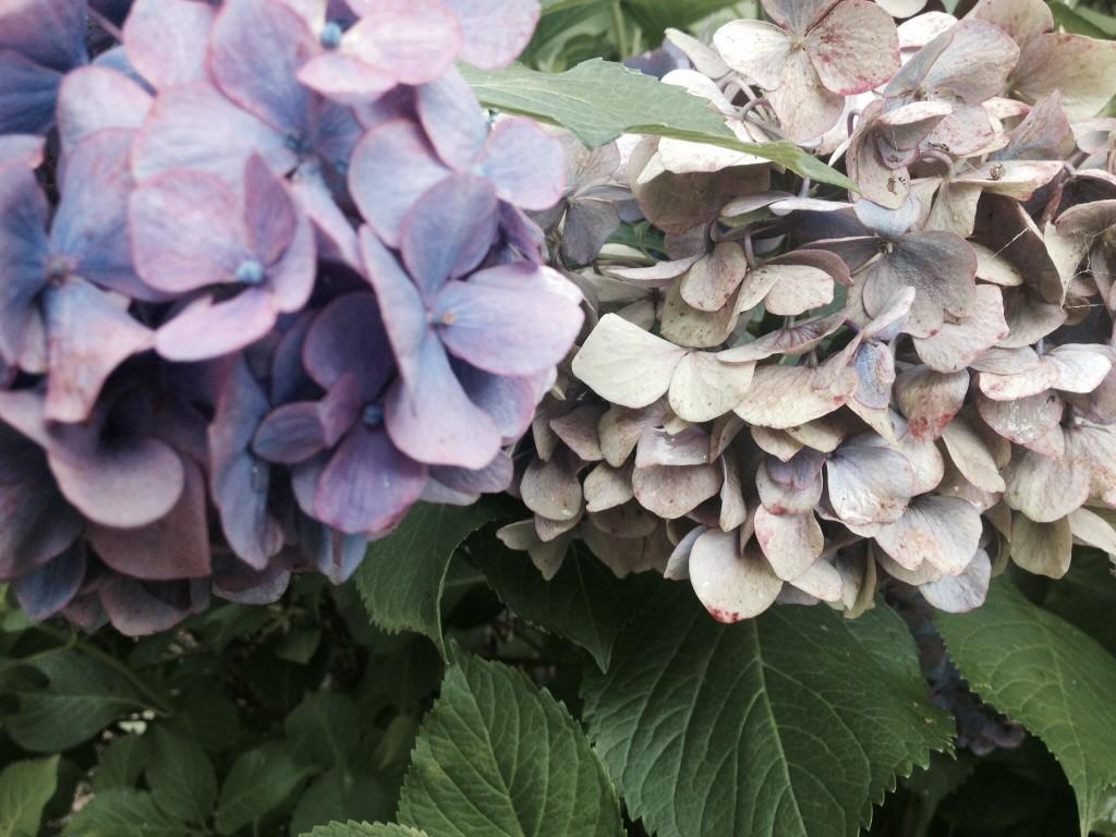 移りゆく紫陽花グラデーション